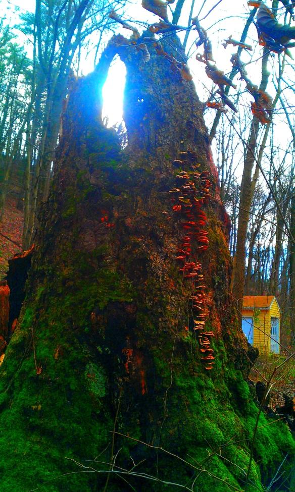 bear oak winter solstice 2011 1