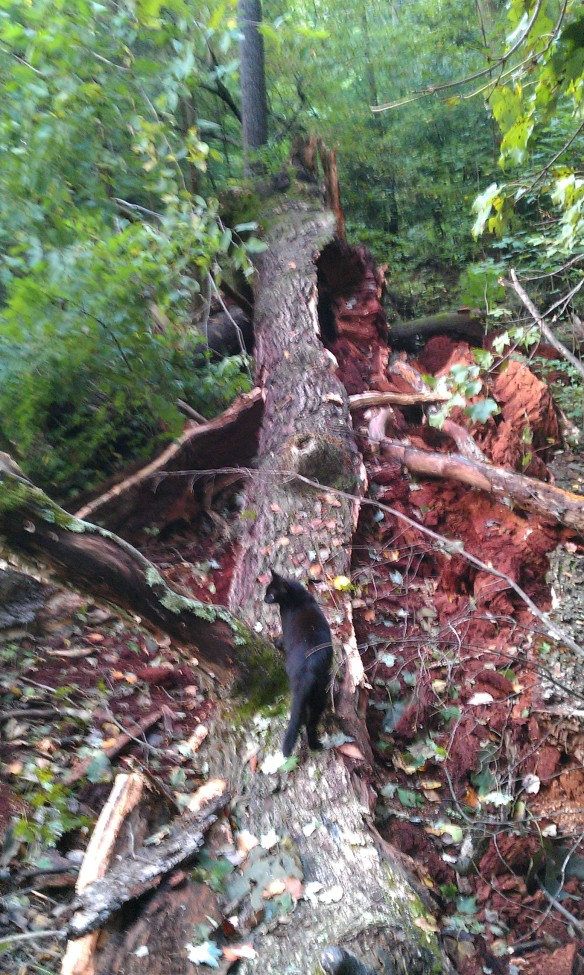bear oak fallen 13