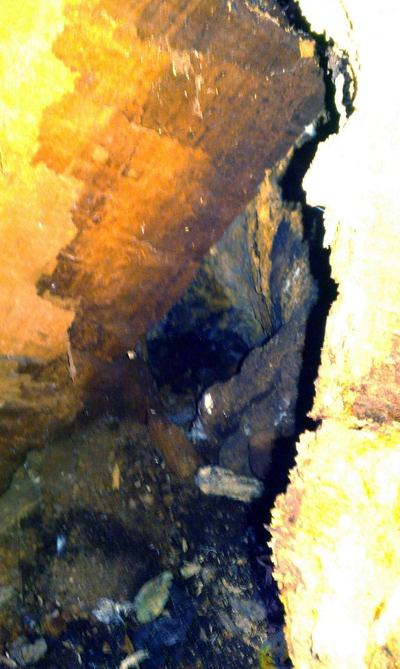 bear oak fallen 18