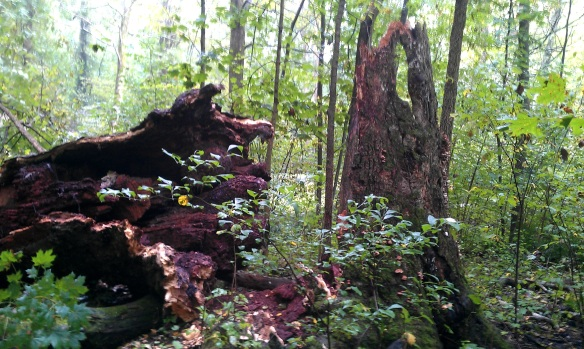 bear oak fallen 5
