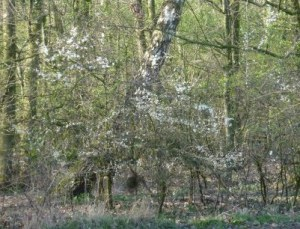 Birch and Blackthorn, Hurst Grange Park, Penwortham