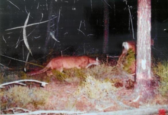 Mountain Lion stalking deer