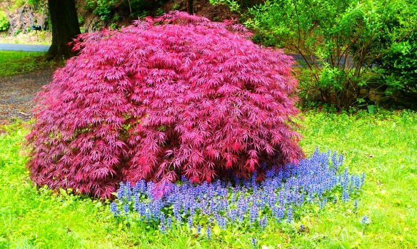 Red Maple Purple Aruga